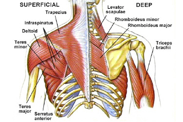 Deeper relevant muscular anatomy